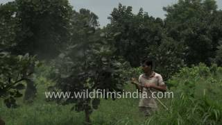 Sprinkling pesticide on Palash trees in Ranchi, Jharkhand