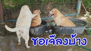 labrador retriever หมาน่ารัก สุนัข ลาบราดอร์รีทรีฟเวอร์ เล่นน้ำกัน ขอลงบ้าง - dooclip.me
