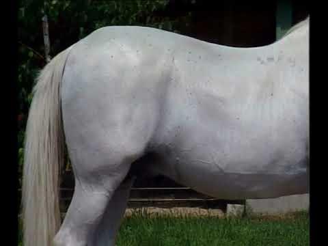 erekciós ló rovarok pénisz