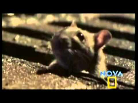Kinai sutinka Žiurkės metus. Kokie jie bus?