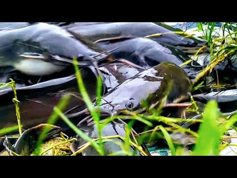 Hybrid Magur Fish Farming Business In India || Million