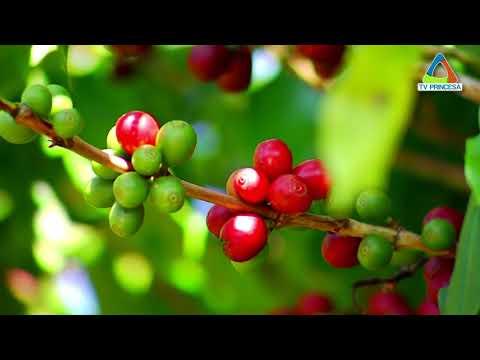 Café tem previsão de safra de até 58 milhões de sacas