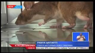 KTNLeo Wikendi: Panya watumiwa huko Tanzania uchunguzi wa vimelea vya ugonjwa wa kifua kikuu (TB)