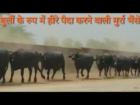 PART-2 :- Calf of HLDB,s Bull in Mother Farm (Hisar
