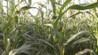 Кукурузное поле и пара мародеров