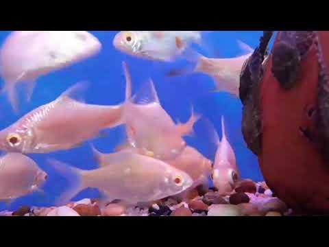 ปลาเผือก คลินิคปลาสวยงาม