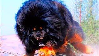 Лучшие Охранные Породы Собак, КОТОРЫЕ ОТДАДУТ ЖИЗНЬ ЗА ХОЗЯИНА