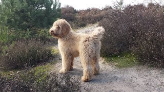 Boef Our Australian Labradoodle 1-7 Months