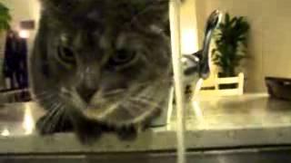 Кот с нестандартным мышлением пьет воду