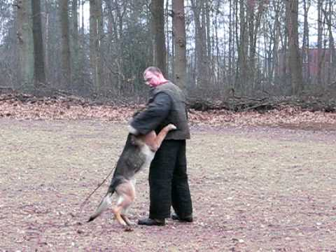 German Shepherd Alsatian Dutch Police Dogs VANZWEDENLAND 2