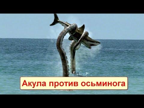 Сумасшедшие битвы морских животных! Акула против осьминога