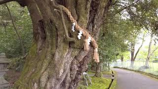 【びわ湖源流の郷・高島市より】滋賀県内最大、スダジイの巨木