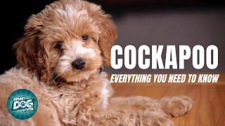 Cockapoo Dog Breed Guide | Dogs 101 - Cockapoo