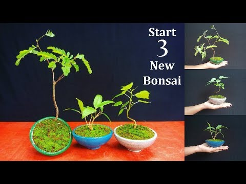 Download How to Start Bonsai | Starting Three New Bonsai Trees | Bonsai care for Beginners // GREEN PLANTS HD Video
