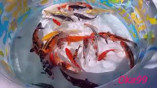 FIRST TIME KOI POND CLEANING | MOVE KOI FISH TO THE KIDS POOL⁉️
