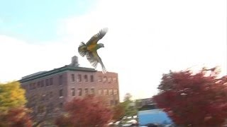 Senegal Parrot Outdoor Freeflight - Skilled Flying at the Park