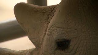 Artificial Insemination Yields Rhino Embryo At Zoo's Safari Park