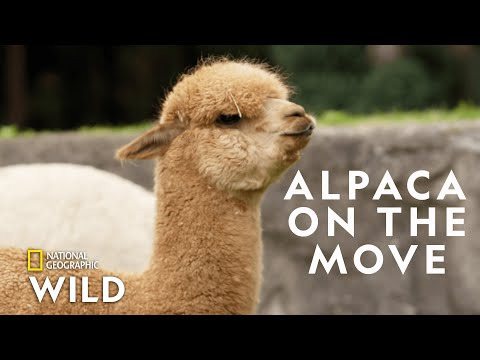 Alpaca Herd Goes for a Walk  | Secrets of the Zoo: Down Under