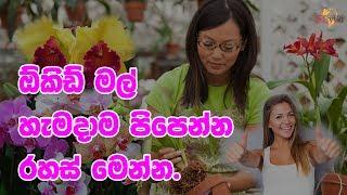 ඕකිඩ් මල් හැමදාම පිපෙන්න රහස් මෙන්න. | How to get good results from orchids!