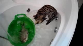 Шанти (Бенгал F1) с рыбой, смешные кошки