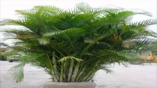 Areca-bambu,palmeira-areca (Dypsis lutescens)