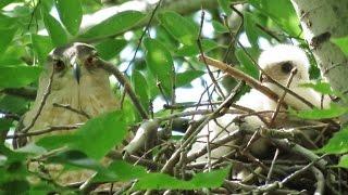Nesting Cooper's Hawks 2016