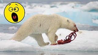 Видео как МЕДВЕДЬ напал на МЕДВЕЖОНКА январь 2019 Охота на медведя другим медведем