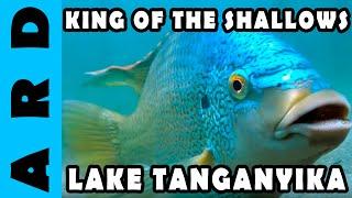 Oreochromis - King of the shallows at Ndole Bay - Lake Tanganyika