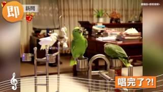 鸚鵡飆唱經典民謠 字正腔圓高音轉音都難不倒!