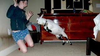 I'm 101% SURE that you will LAUGH EXTREMELY HARD! - Funny JUMPING GOATS videos
