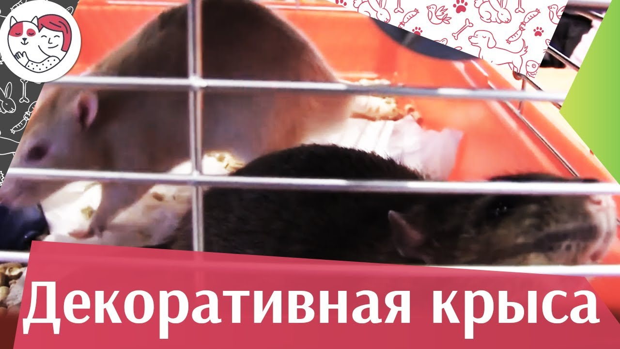 Декоративные крысы Питание на ilikepet