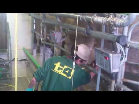 Az.Agricola Gasper's , Primiero (TN): Mungitura