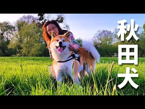 AKITA INU - A DAY IN THE LIFE OF A JAPANESE DOG | HAPPY MOTHER'S DAY (秋田犬)
