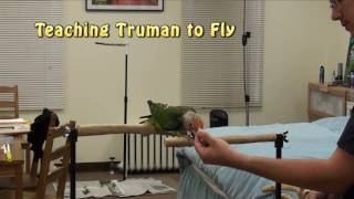 Truman Parrot Show - How to Teach Basics of Flight and Recall