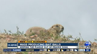 Bait balls help wipe out plague in Colorado prairie dogs