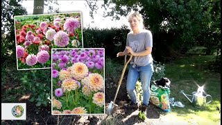 How to plant Dahlia tubers in a border - FarmerGracy.co.uk