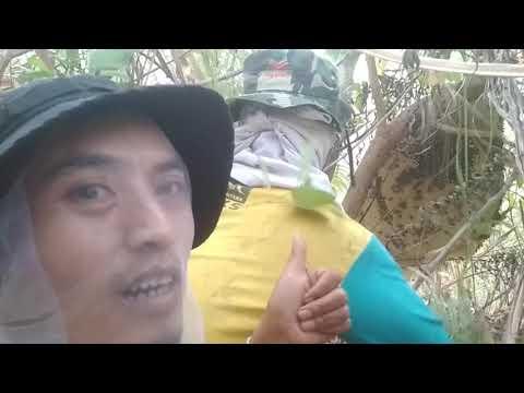 Asyiknya berburu lebah liar