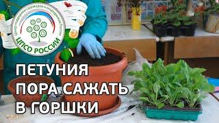 Выращивание петунии, посадка в горшки видео