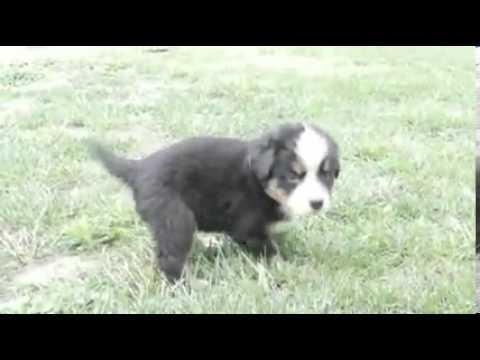 Toledo Ohio Puppies girl 6