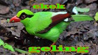 Suara Kicau Burung Ekek Geling/ekek Layongan