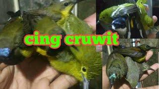 Suara Pikat Burung Kimcil Andalan Paling Mantap Buktikan Mp3 Pikat Ampuh Kutilang Ribut