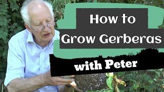 How To Grow Gerberas | Garden Ideas | Peter Seabrook