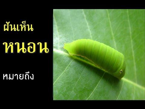 Strongylidae หนอนปรสิต