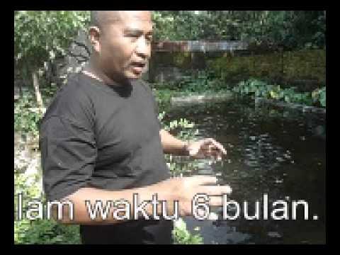 Video Budidaya ikan gurame modal 3 jt Jadi 12 jt dalam wkt 6 bulan