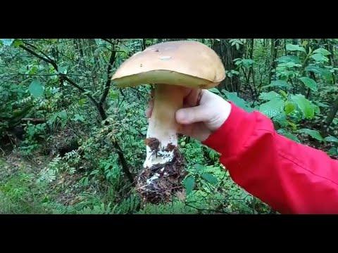 Белые грибы массово пошли в красивом лесу подмосковья июль 2019 года