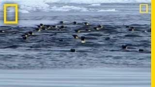 Leopard Seal - Hunting Emperor Penguin