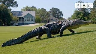 The Alligators Taking Over Americas Golf Courses - BBC