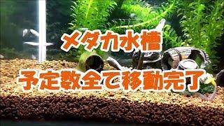 メダカの飼育:室内水槽立ち上げ~予定数全て引っ越し完了Medakaaquarium