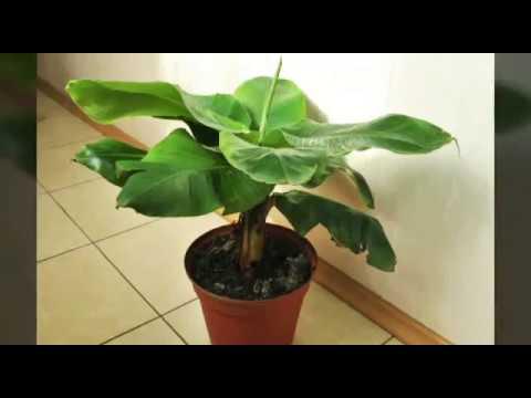 как вырастить банан из семян в домашних условиях ?