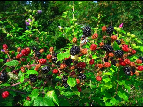 , title : 'How to Plant Blackberry Bushes